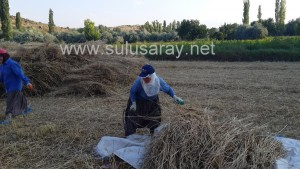 sulusaray-ekin-bicme(3)