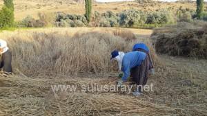 sulusaray-ekin-bicme(4)
