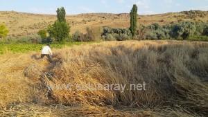 sulusaray-ekin-bicme(7)